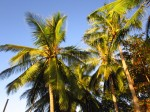 Coconut trees in the island